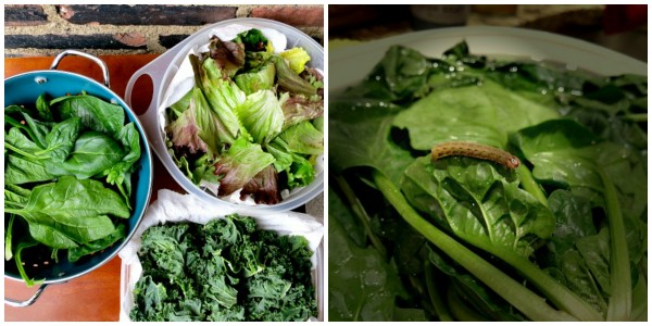 Washing the Lettuce, Spinach and Kale Collage