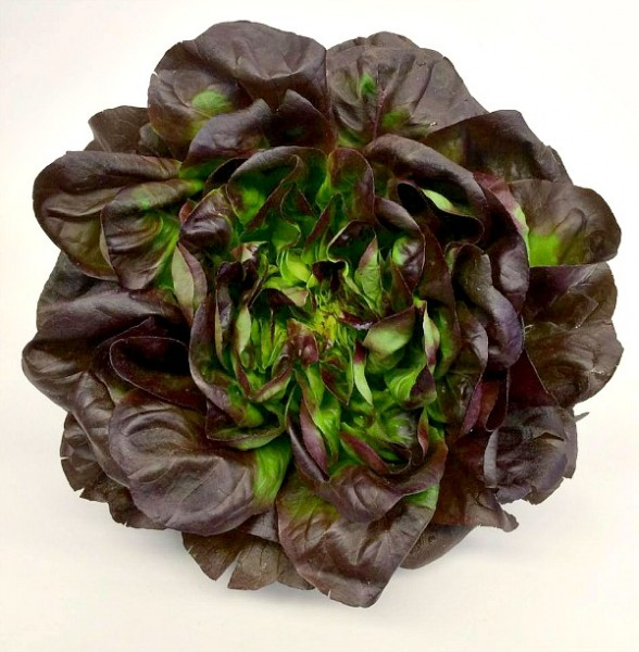 Beautiful Head of Farmers Market Lettuce