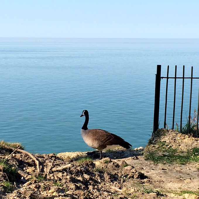 Goose and Lake Erie