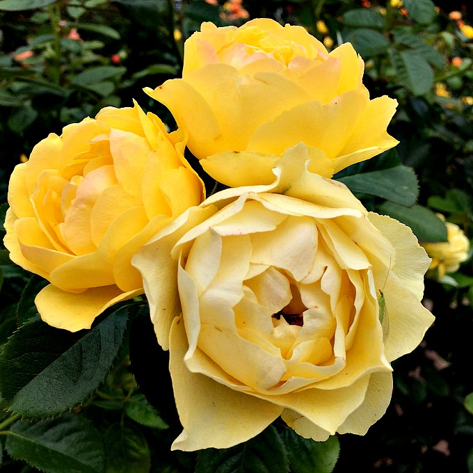 Rose Garden Yellow Roses