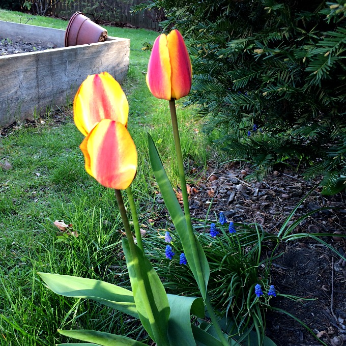 Tulips in the Backyard