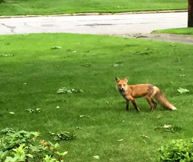 Fox in the Front Yard