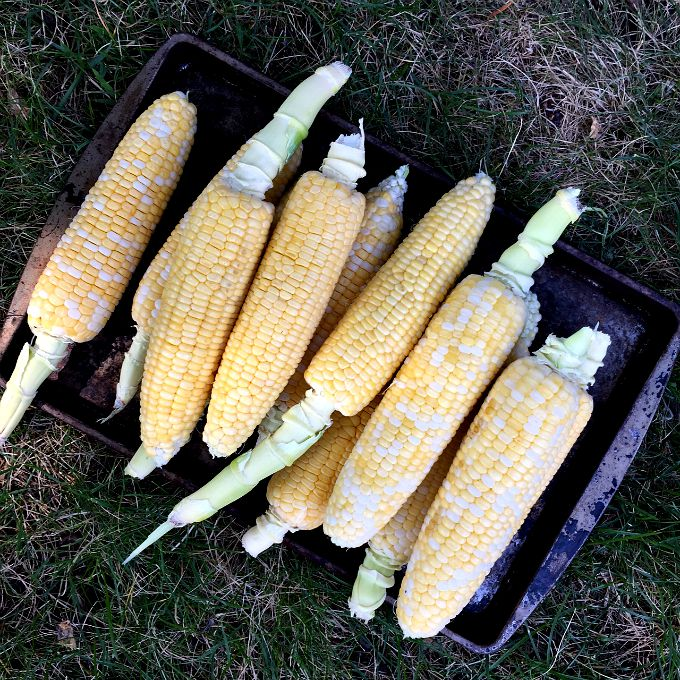 Fresh Summer Corn from the Farmers Market