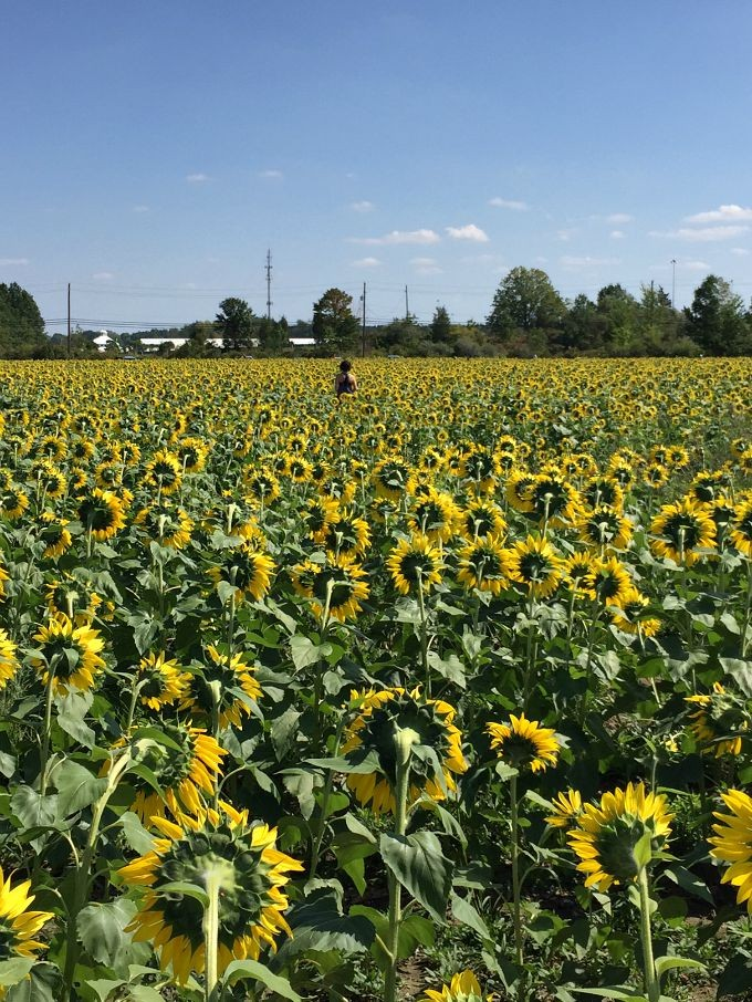 Brittany in Fields of Sunflowers