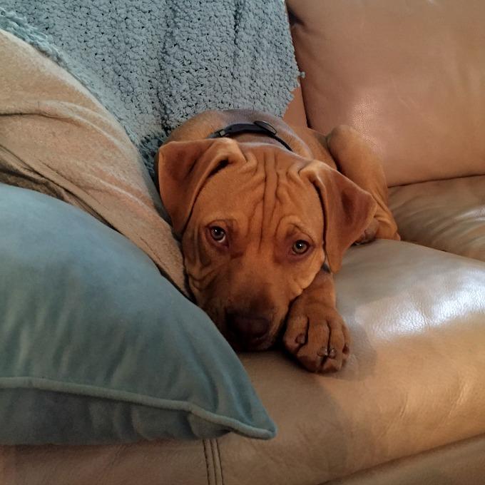 Hudson Puppy October 2105