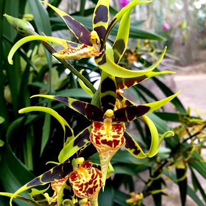 Orchid Mania 2016 E