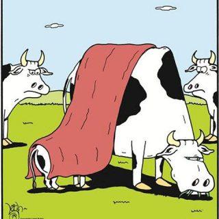 Breastfeeding Funny - Cows